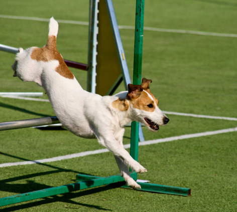 photodune-5479626-agility-dog-with-a-jack-russell-terrier-xs